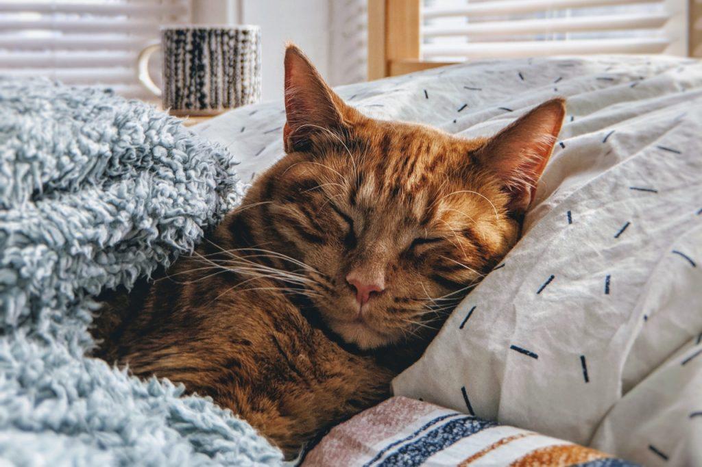 cat on pillow